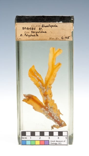 LDUCZ G105 Spirorbis preserved in fluid