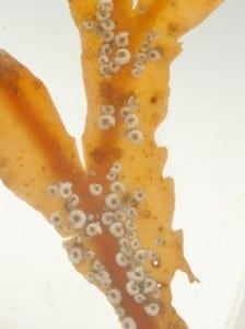 Close up of LDUCZ G105 Spirorbis preserved in fluid
