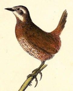 Pteroptochos megapodius 1832 Heinrich von Kittlitz