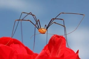 Harvestman (Opilio canestrinii) by Charlesjsharp. Creative Commons Attribution-Share Alike 3.0 Unported