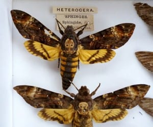 The pinned Death's-head hawkmoths. LDUCZ-L1438