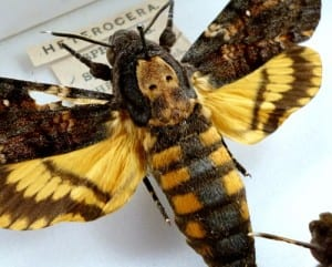 The gloomish skull markings, giving the Death's-head hawkmoth its name