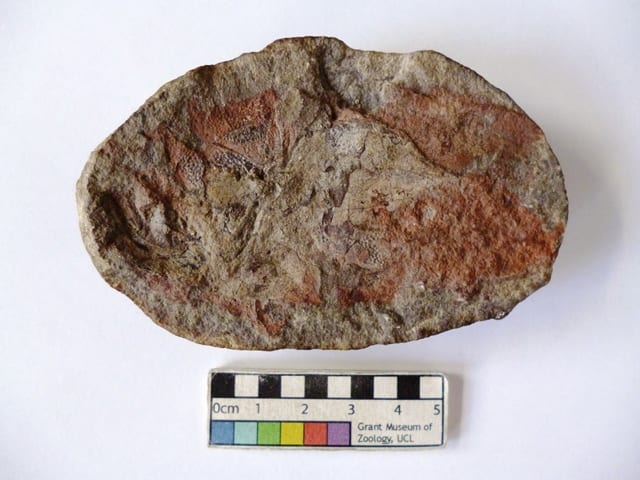 LDUCZ-V1181 Coccosteus fossil from the Grant Museum of Zoology UCL