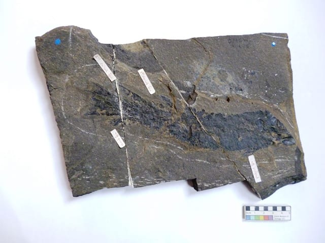 Image of LDUCZ NON1486 Tristichopterus alatus fossil from the Grant Museum of Zoology