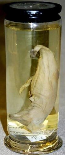 LDUCZ-Z2301 common dolphin foetus (Delphinus sp.)