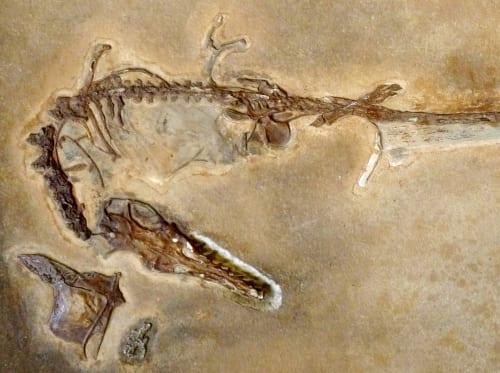 LDUCZ-X1093 Rhamphorhynchus muensteri fossil detail