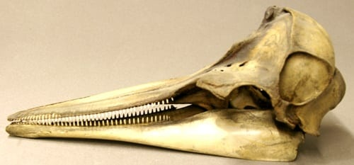 LDUCZ-Z2277 common dolphin skull (Delphinus sp.)