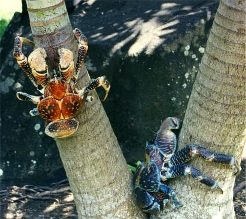 Coconut crabs (Birgus latro) on tree. Image by FR; CC-BY-SA-3.0,2.5,2.0,1.0 via Wikimedia commons