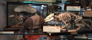 Knitted armadillo amongst the collection