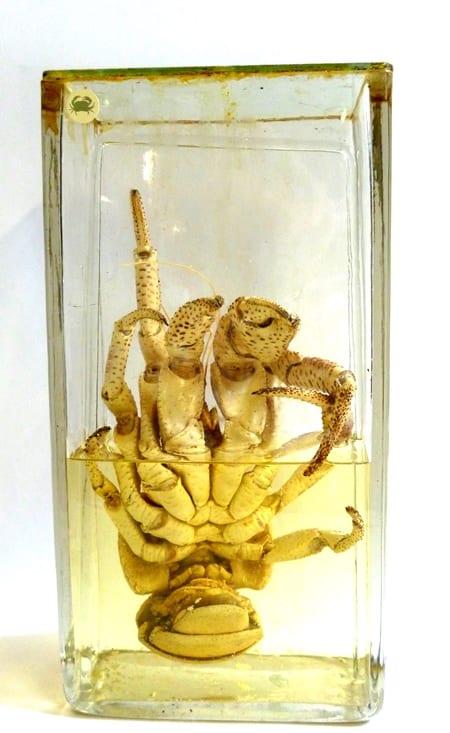 LDUCZ-H272 Coconut crab (Birgus latro)