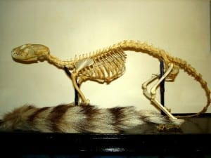 The ringtail skeleton. Bassariscus astutus. LDUCZ-Z1116