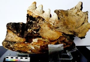 Fragment of mastodon jaw with molar