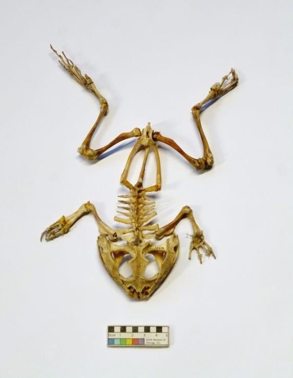 LDUCZ-W201 Pyxicephalus adspersus