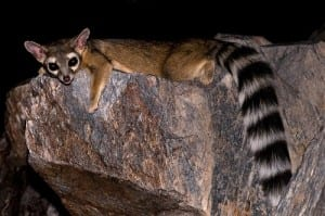 A ringtail Robertbody at en.wikipedia [CC BY-SA 3.0 (http://creativecommons.org/licenses/by-sa/3.0)], via Wikimedia Commons