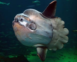 "Ocean Sunfish (Mola mola) ""Sunfish2"" by Per-Ola Norman - Own work. Licensed under Public Domain via Commons - https://commons.wikimedia.org"
