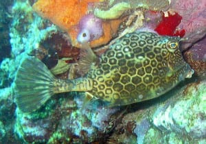 "Honeycomb cowfish - ""Lactophrys polygonia"" by Jan Derk - http://en.wikipedia.org/wiki/Image:Honeycomb_cowfish.jpg. Licensed under Public Domain via Commons - https://commons.wikimedia.org/"