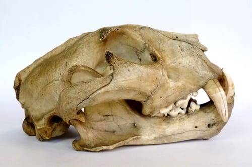 LDUCZ-Z334 leopard (Panthera pardus) skull
