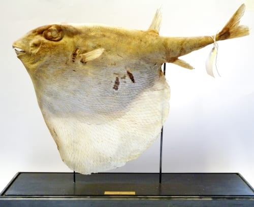LDUCZ-V1552 Triodon macropterus