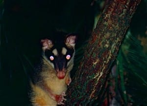 A gray four-eyed opossum (the species from which the southeastern four-eyed opossum was recently split. Philander opossum.  (C) Bernard DUPONT. CC BY-SA 2.0