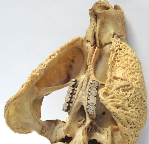 LDUCZ-Z195 Cuniculus paca skull showing pouch in cheek bone
