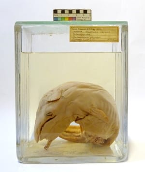 LDUCZ-Z527 fin whale foetus