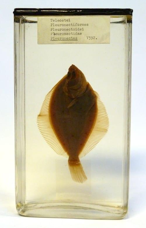LDUCZ-V392 preserved European plaice