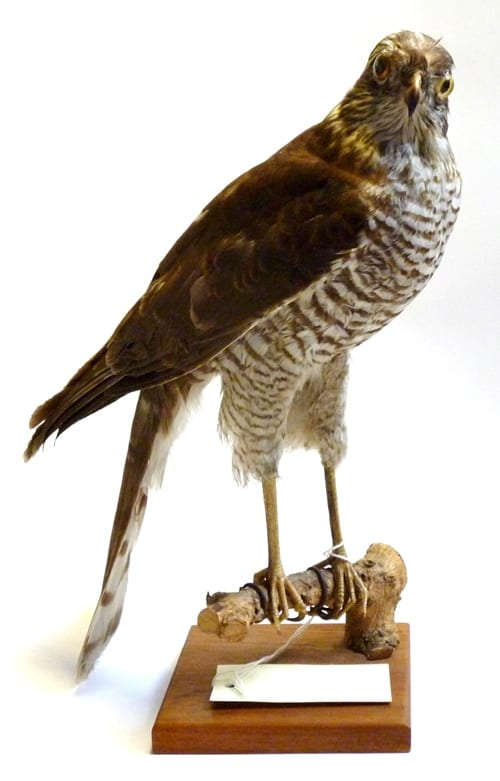 LDUCZ-Y1549 female sparrowhawk taxidermy