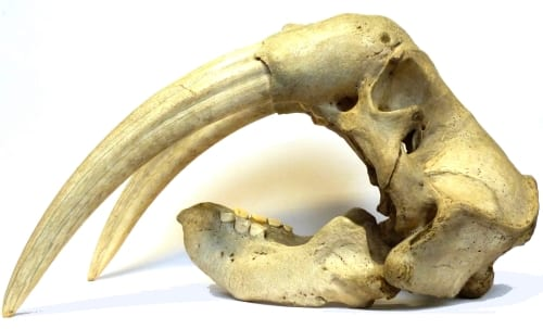 Walrus skull Odobenus rosmarus LDUCZ-Z2270