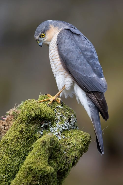 Sparrowhawk male. Image by Steve Ward; CC-BY-2.0; via Wikimedia Commons