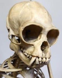 Close up shot of the grey gibbon skull