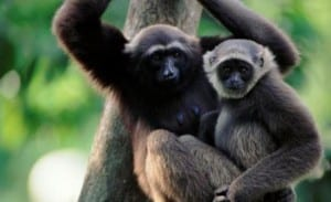Grey gibbon female and juvenile together