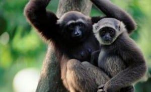 Grey gibbon female and juvenile together