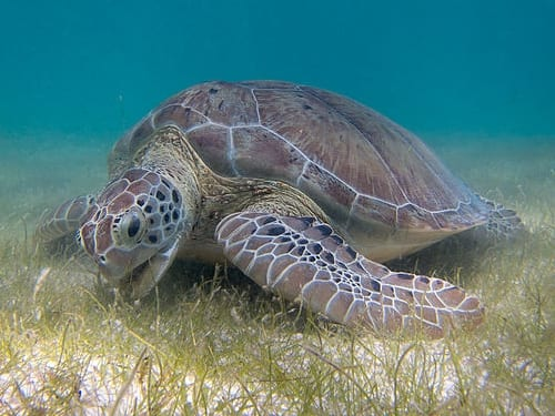 Green Sea Turtle grazing seagrass at Akumal bay © P.Lindgren 2013 [CC BY-SA 3.0]