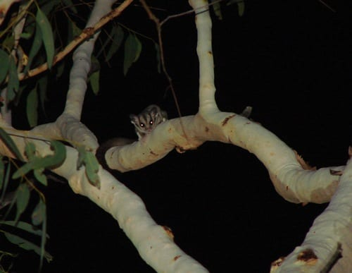 Not a sugar glider: undescribed species of glider from the Kimberley. (C) Jack Ashby