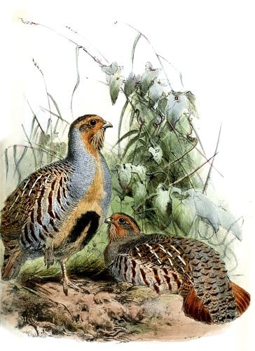 Illustration of Daurian Partridges