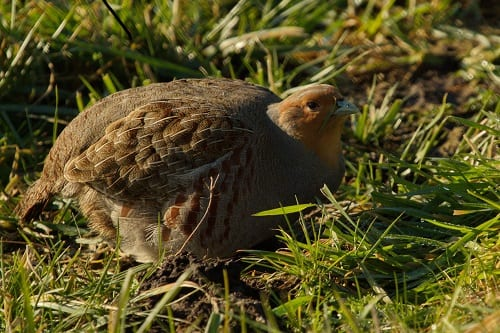 Side view of a Grey Partridge in the wild