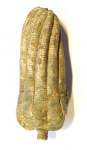 LDUCZ-S31 Encrinus liliiformis