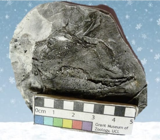 Image of LDUCZ-C151 Nematoptychius greenocki mould from Grant Museum of Zoology