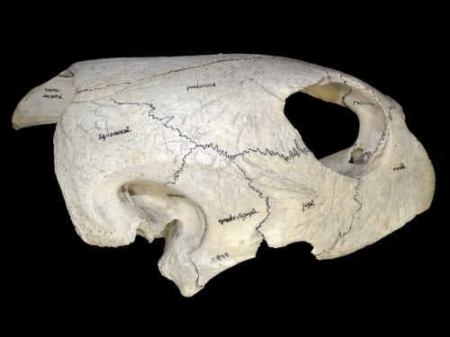 LDUCZ-X833 annotated green turtle skull