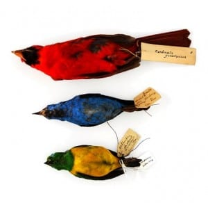 Bird Skins which have previously been treated with arsenic. Photo courtesy of Paolo Viscardi.