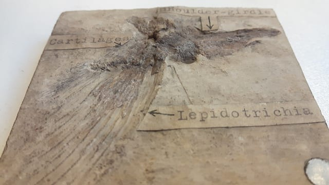 Image of LDUCZ-V1560 Lepidotes sp. fossil from the Grant Museum of Zoology