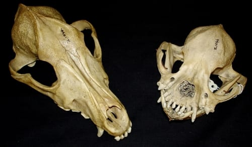 LDUCZ-Z1044 & LDUCZ-Z1046 skulls of two different dog breeds [Grant Museum, UCL]