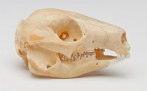 Rock wallaby skull. LDUCZ-Z845