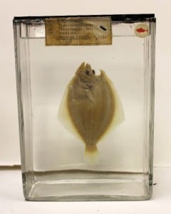 Fluid preserved fish after treatment