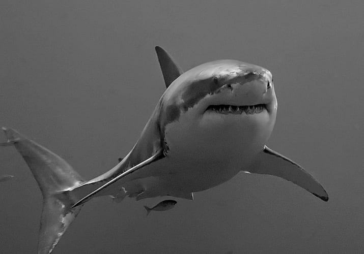 Great white shark; image by Terry Goss; CC-BY-SA-3.0 via wikimedia commons