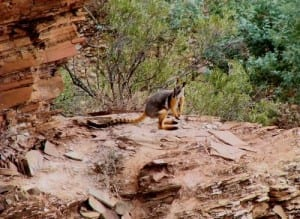 Yellow-footed rock wallaby (C) Jack Ashby