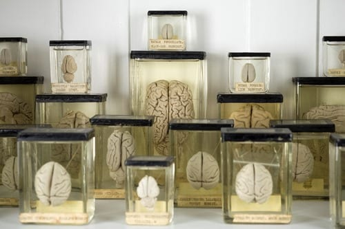 Non-human animal brains on display in the Grant Museum