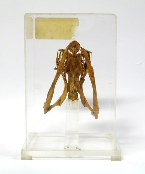 LDUCZ-X167 Indian cobra skull