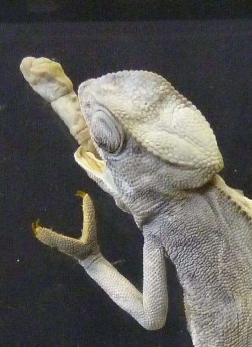 LDUCZ-X79 preserved common chameleon