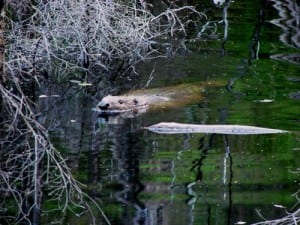 Beaver swimming with its ears, eyes and nose well above water.